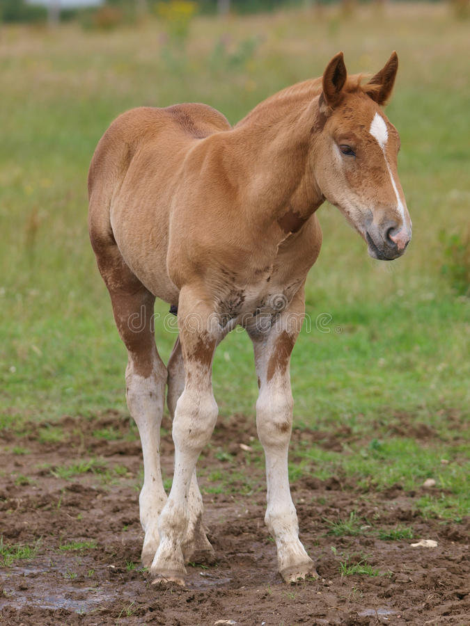 Suffolk Horse Foal stock photo