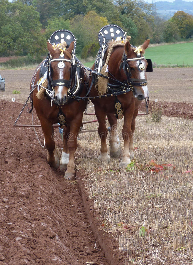 Suffolk Horses at a Ploughing Match in England. Heavy Horses at an Annual Ploughing Match event in Somerset South West England stock image