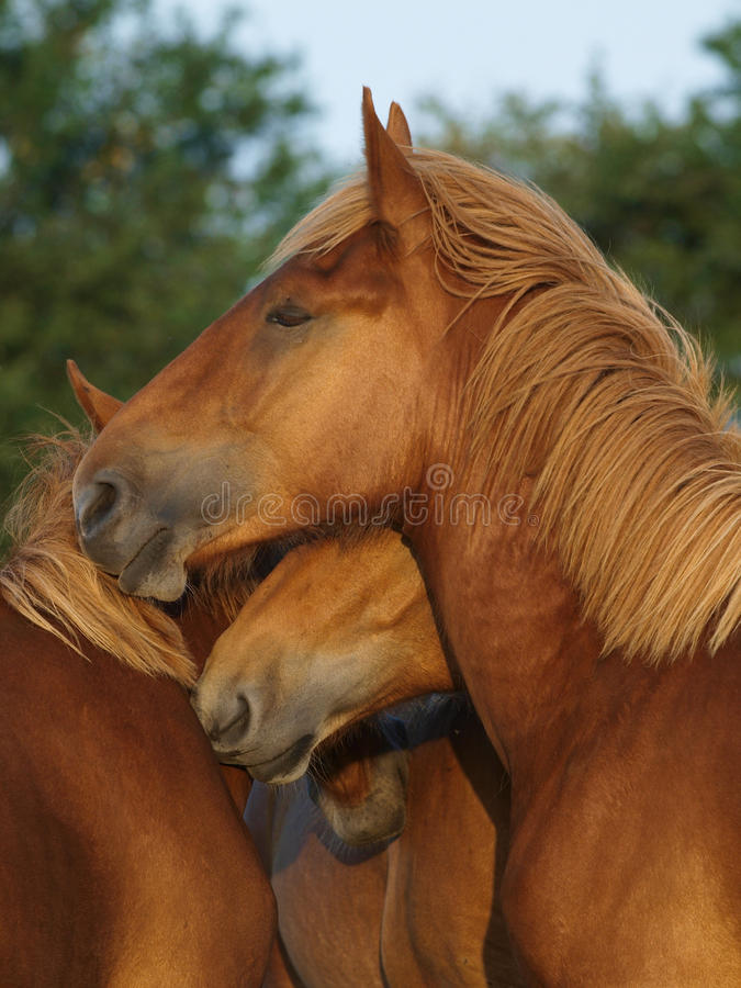 Suffolk Punch Yearlings royalty free stock image