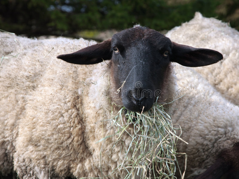 Suffolk sheep. Close-up of a Suffolk sheep eating hay. Shallow depth of field with focus on the head royalty free stock image