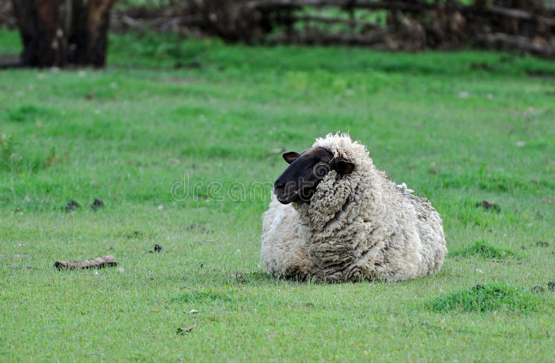 A Suffolk sheep alone in paddock. Lonely suffolk sheep resting alone in green paddock, Queensland, Australia stock photography