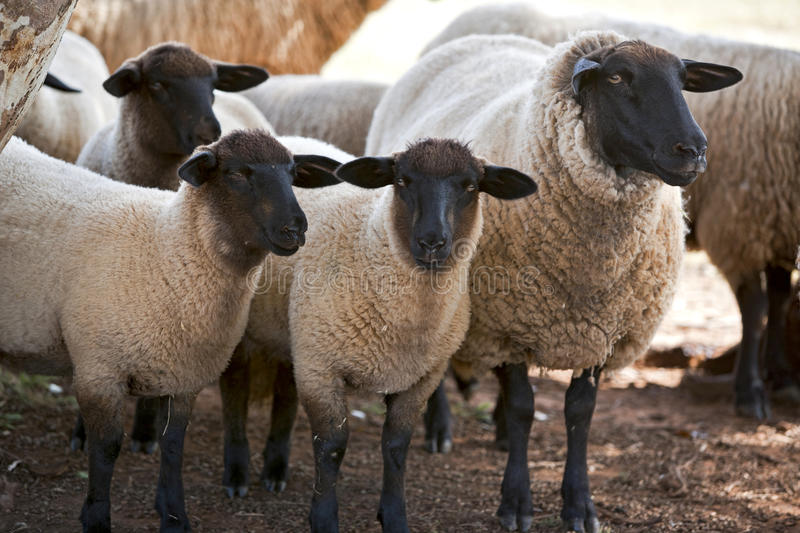 Suffolk sheep. Flock of Suffolk sheep resting in shade royalty free stock images