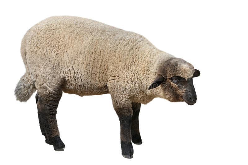 Suffolk sheep isolated on white background stock photography