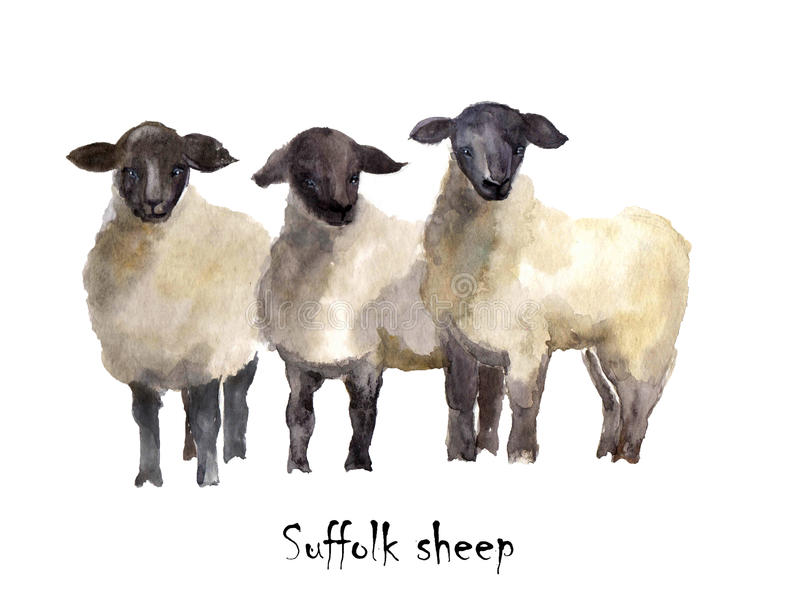 Suffolk sheep watercolor on the white background. Hand drawn cute illustration. Creative farm animals. Background for Muslim Commu stock illustration