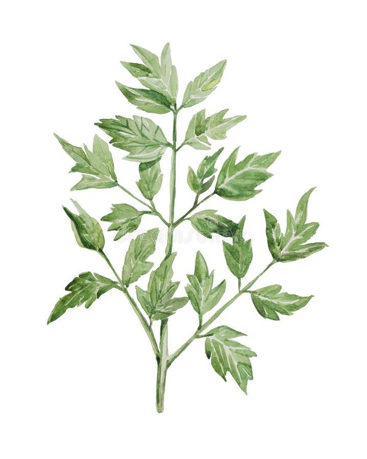 Suffruticosa de Paeonia, branche d'aquarelle avec des feuilles du plan rapproché boisé de pivoine illustration stock