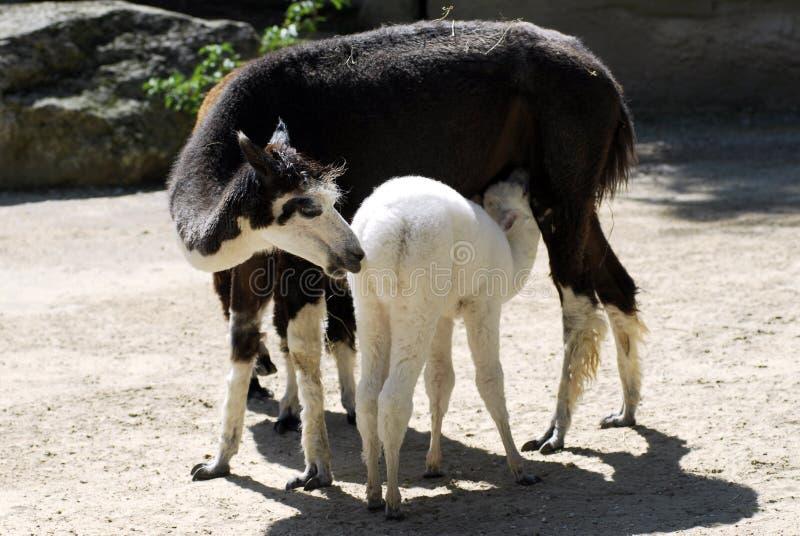 Sugação nova da alpaca foto de stock