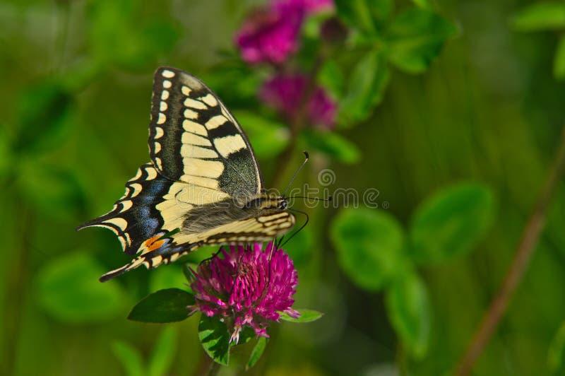 Sugande nektar för fjäril från blomman royaltyfria foton