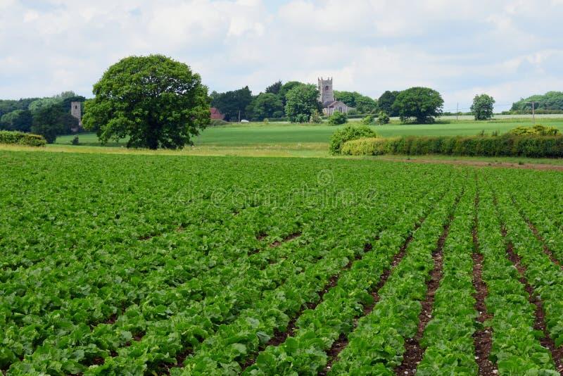 Sugar Beat & chiese, Shotesham, Norfolk, Inghilterra a giugno fotografie stock