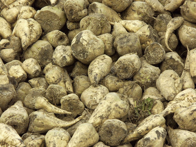 Sugar beet. A pile of harvested sugar beets royalty free stock photo
