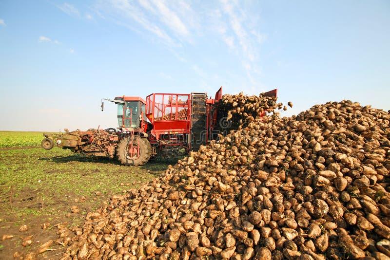 Download Sugar beet stock image. Image of countryside, beet, root - 16564751