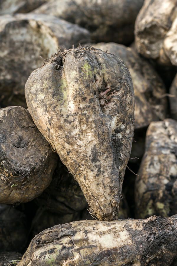 Sugar beet. Autumn is harvest time. At this time the fields are full of the great mounds of sugar beet stock photography