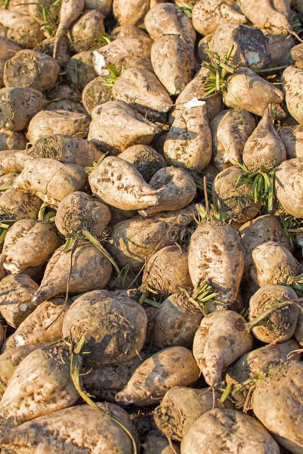 Sugar Beet Background Pilha da beterraba imagem de stock