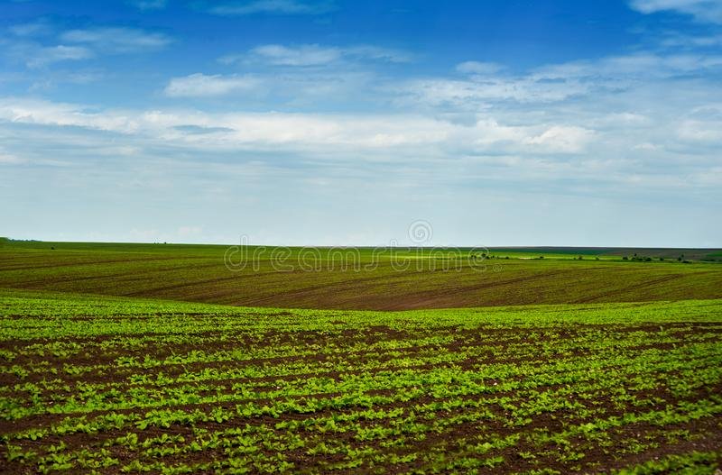 Sugar beet crops field, agricultural landscape royalty free stock photography