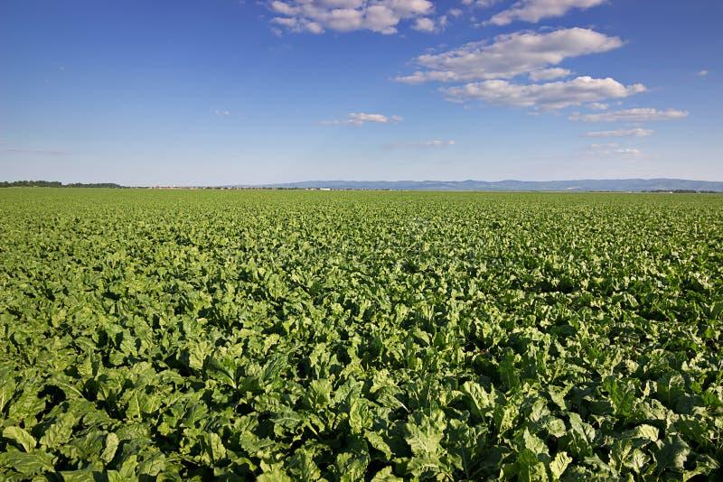 Sugar beet crops field, agricultural landscape Sugar beet field stock photo