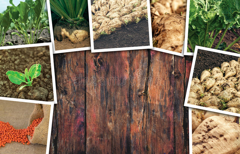 Sugar beet farming in agriculture photo collage royalty free stock photography