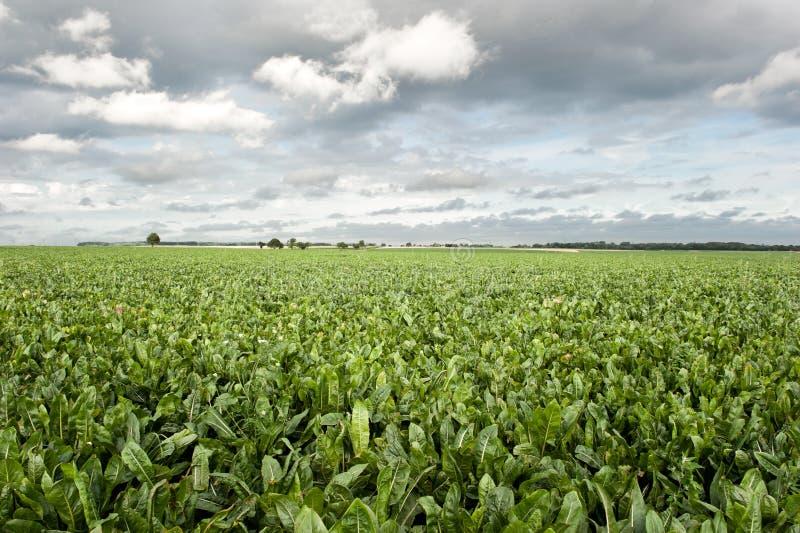 Sugar beet field stock images