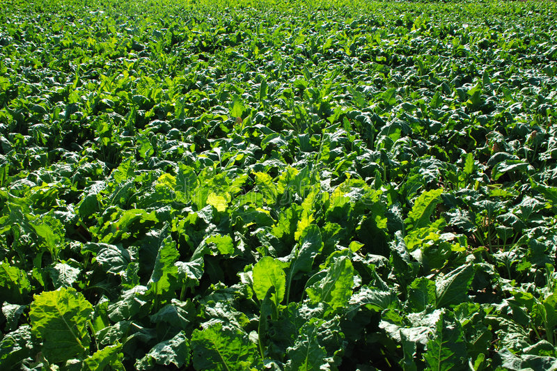 Sugar beet field royalty free stock images