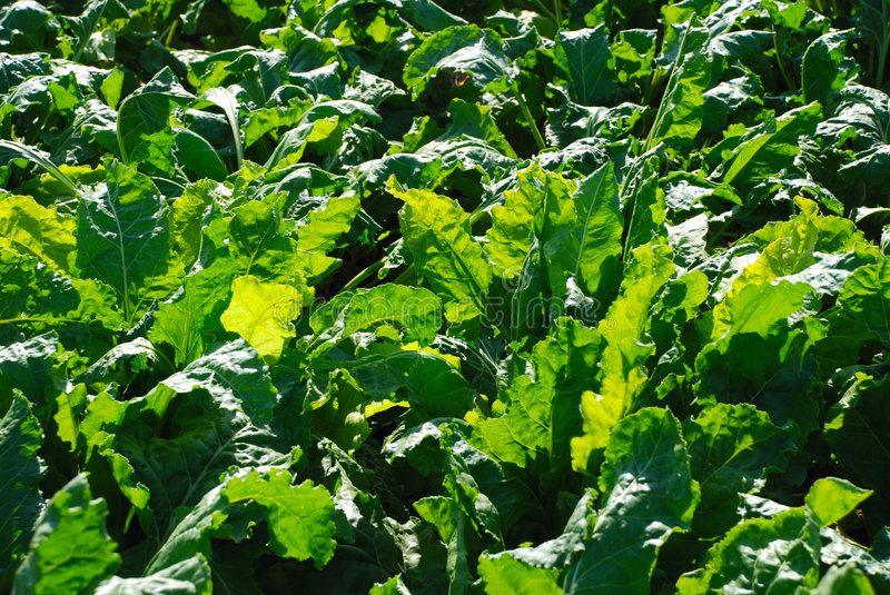 Download Sugar beet field stock photo. Image of bright, nature - 5951424