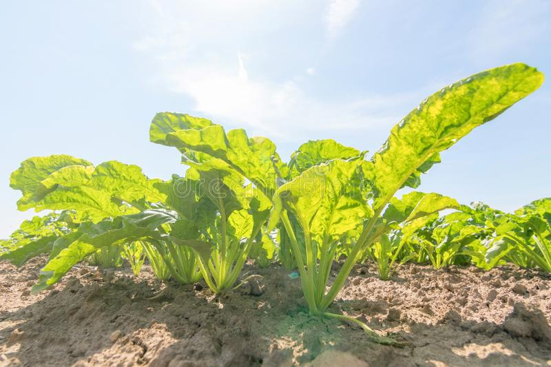 Sugar beet field. Green sugar beets in the ground. Agriculture stock photography