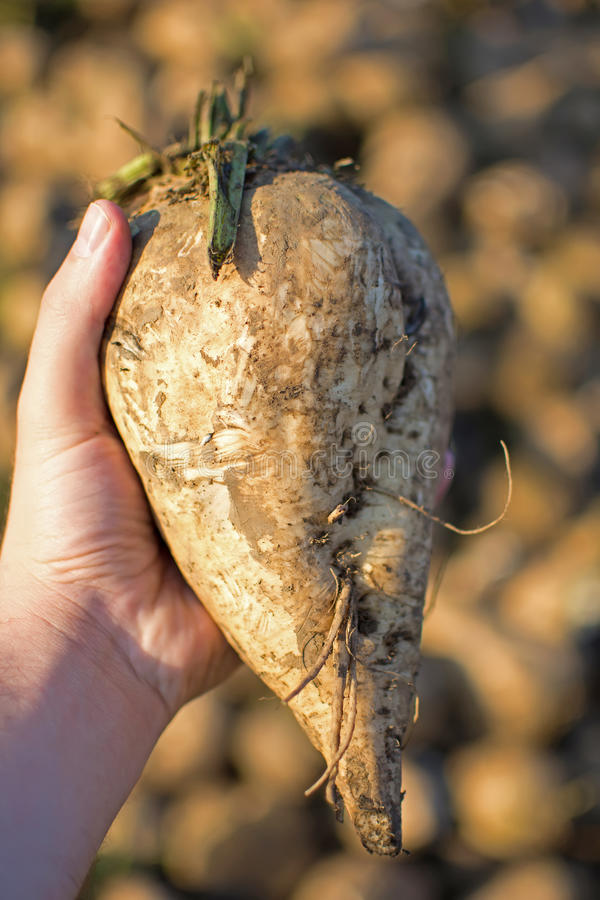 Sugar Beet in the Hand with Pile in the Background. Freshly Picked Sugar Beet. Sugar Beet in the Hand with Pile in the Background. Freshly Picked Organic Sugar stock image