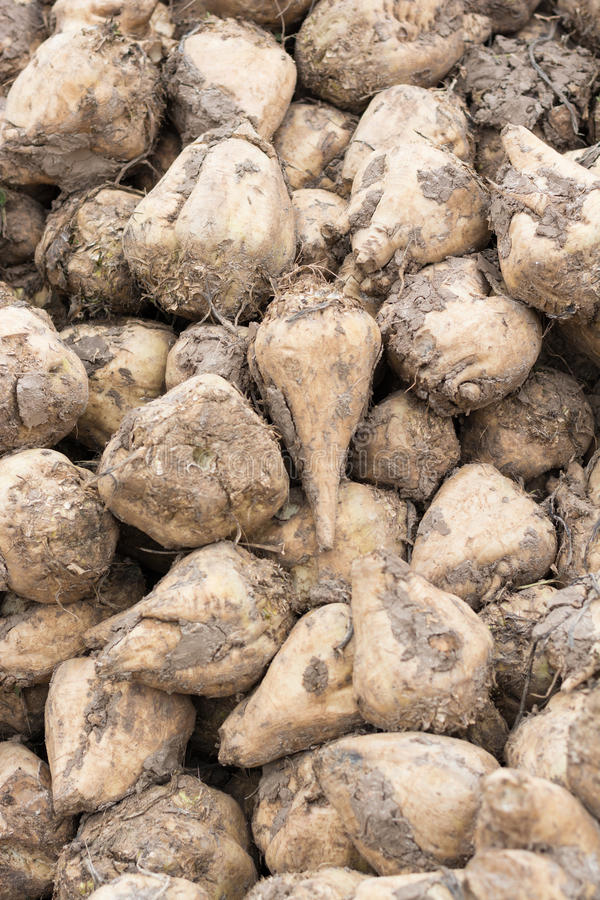 Sugar beet after harvest stock photos