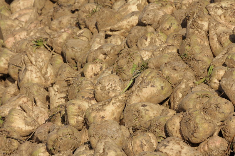 Sugar beet harvest royalty free stock images
