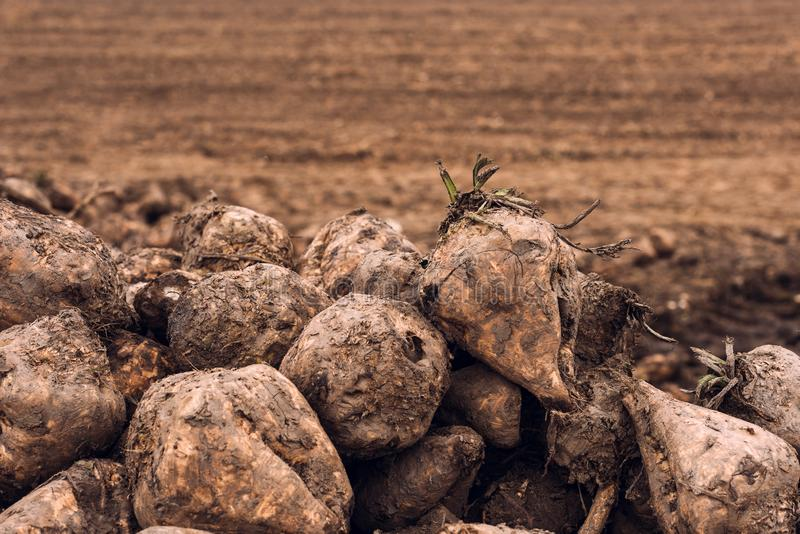 Sugar beet harvest. Pile of harvested agricultural root crop in the field. Selective focus royalty free stock image