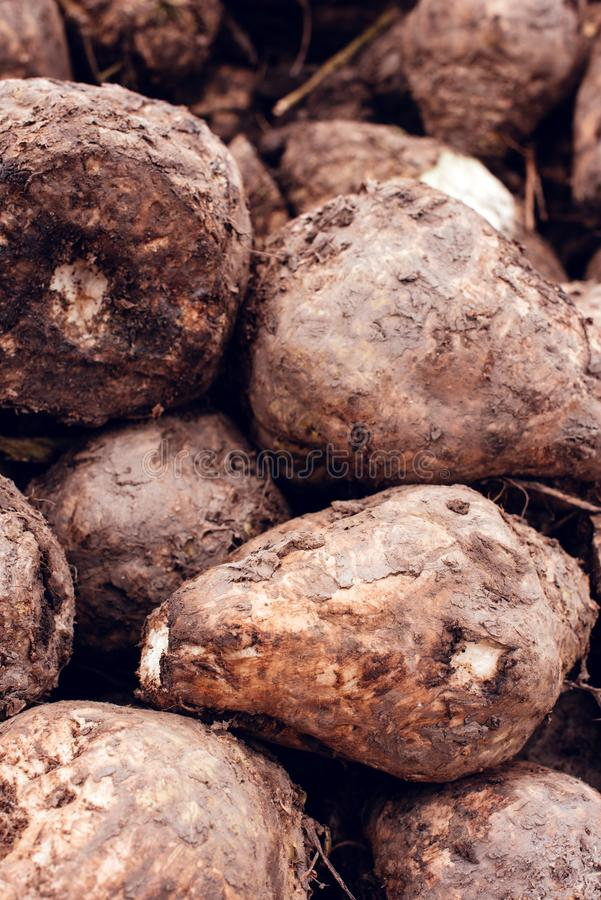 Sugar beet harvest. Pile of harvested agricultural root crop in the field. Selective focus stock photo