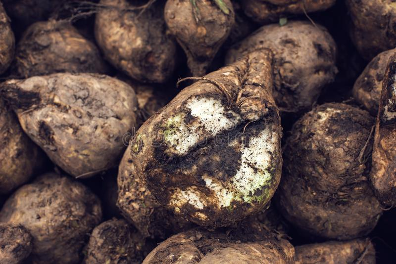 Sugar beet harvest. Pile of harvested agricultural root crop in the field. Selective focus royalty free stock images