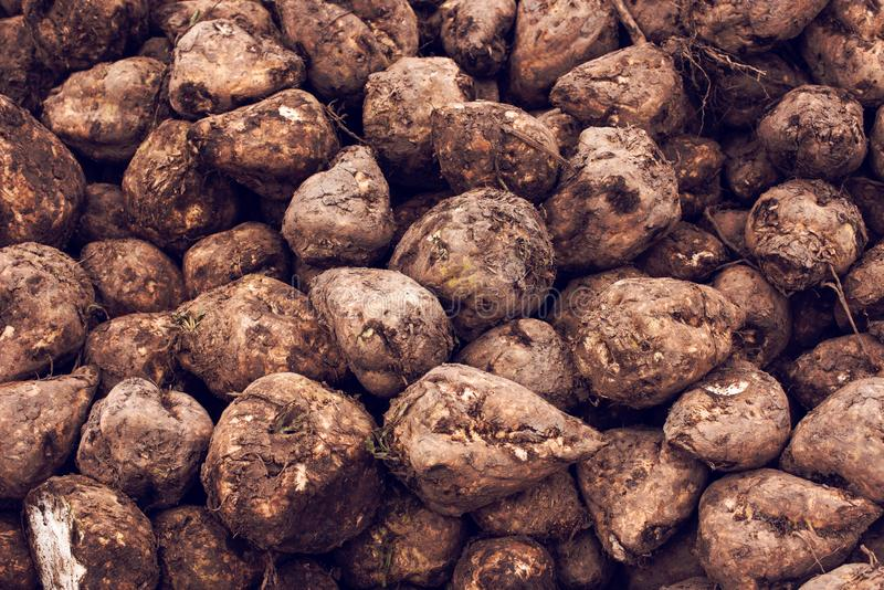 Sugar beet harvest. Pile of harvested agricultural root crop in the field. Selective focus royalty free stock photos