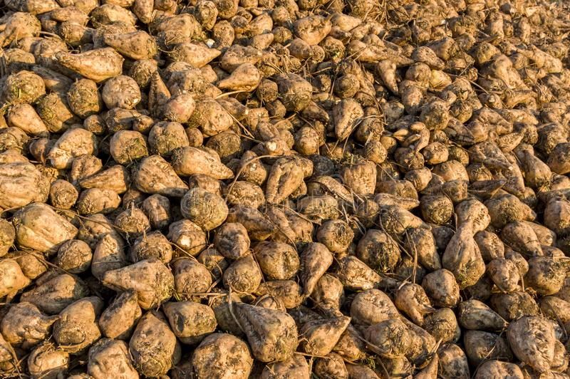 Sugar beet, the harvest is in a pile for transport to the sugar royalty free stock photos