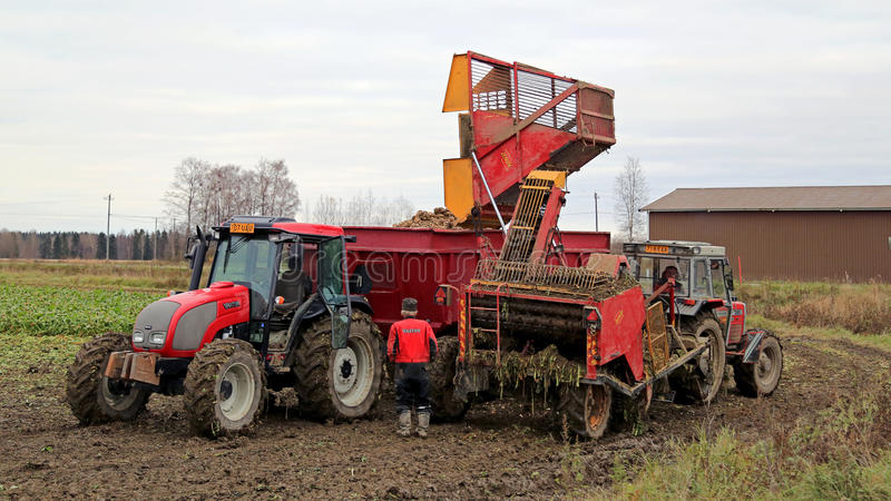 Sugar Beet Harvest. SALO, FINLAND - OCTOBER 18, 2014: Harvested sugar beet being unloaded on agricultural trailer in South of Finland. The annual crop is royalty free stock photo