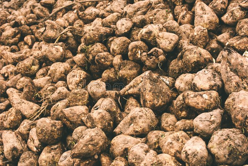 Sugar beet harvest royalty free stock photo