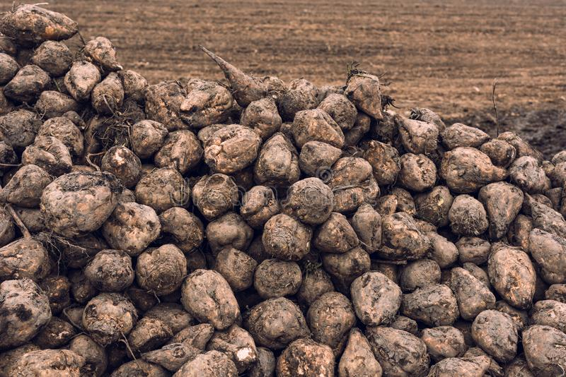 Sugar beet harvest. Pile of harvested agricultural root crop in the field. Selective focus royalty free stock photo