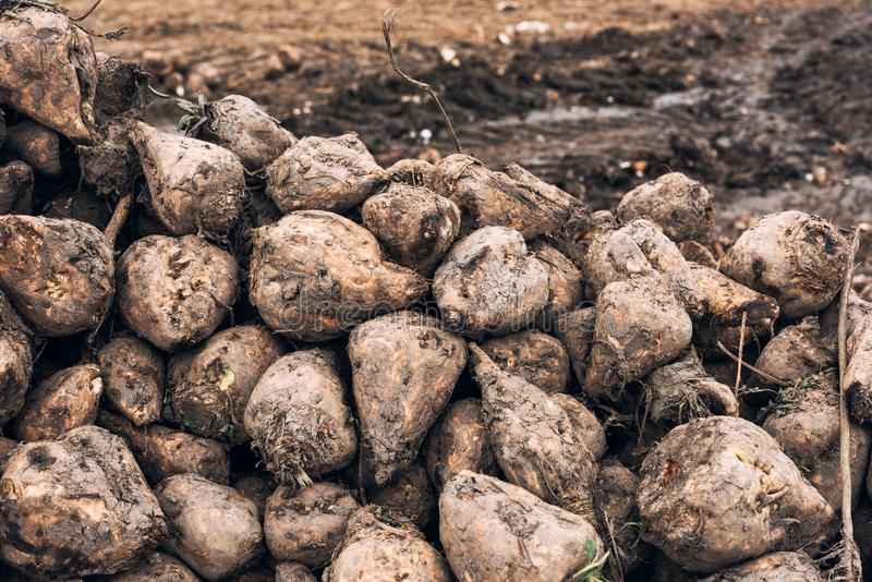 Sugar beet harvest. Pile of harvested agricultural root crop in the field. Selective focus royalty free stock photography