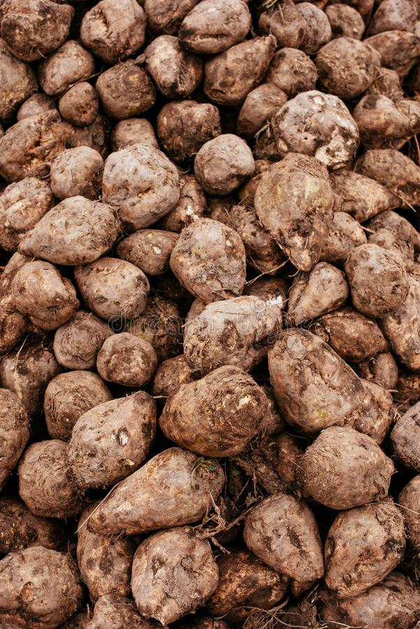 Sugar beet harvest. Pile of harvested agricultural root crop in the field. Selective focus stock image