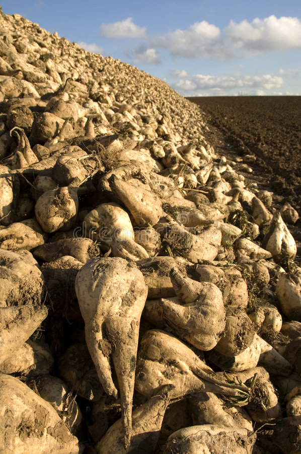 Sugar beet heap. A huge heap of sugar beets at the edge of a freshly ploughed and harrowed field stock image