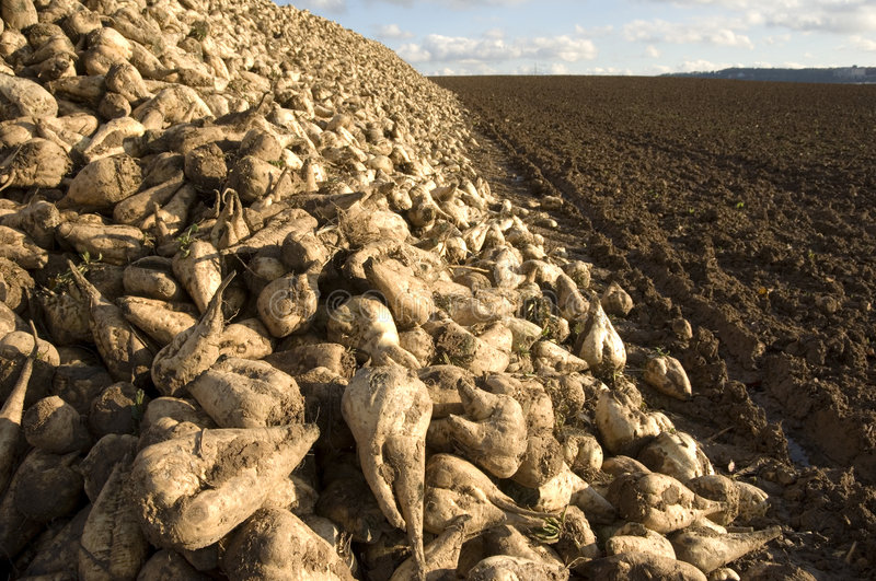 Sugar beet heap. A huge heap of sugar beets at the edge of a freshly ploughed and harrowed field stock photo