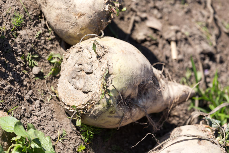Sugar beet. The pile of sugar beet royalty free stock photography