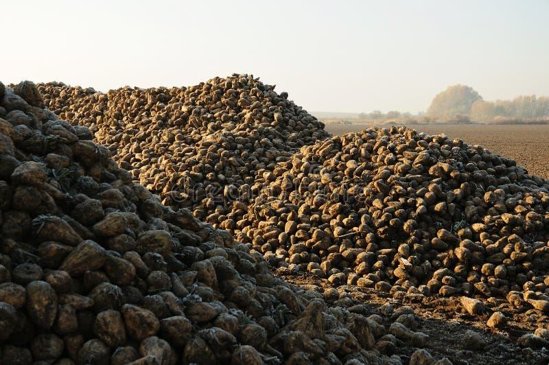 Sugar beet pile on field stock photo