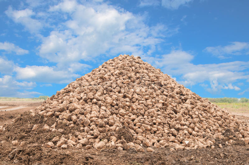 Sugar beet pile. At the field after harvest stock photography