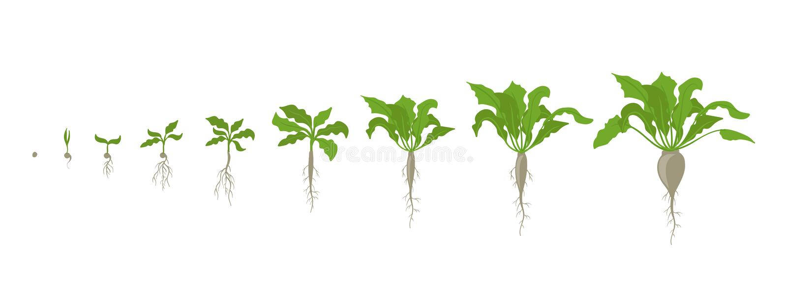 Sugar beet plant. Growth stages. Vector illustration. Beta vulgaris subsp. Ripening period. The life cycle. Root grown. Sugar beet plant. Growth stages. Vector royalty free illustration