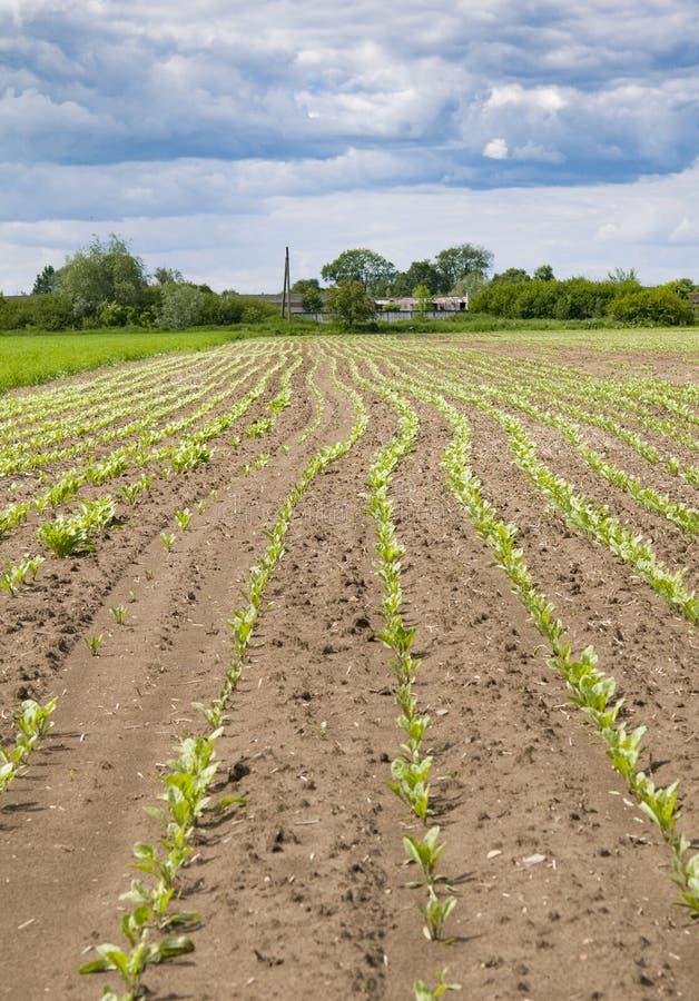 Sugar beet plants. Closeup of young sugar beet plants in converging long lines royalty free stock photos