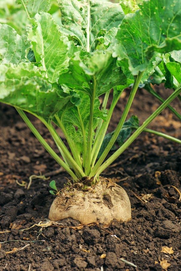 Sugar beet root crop royalty free stock photo