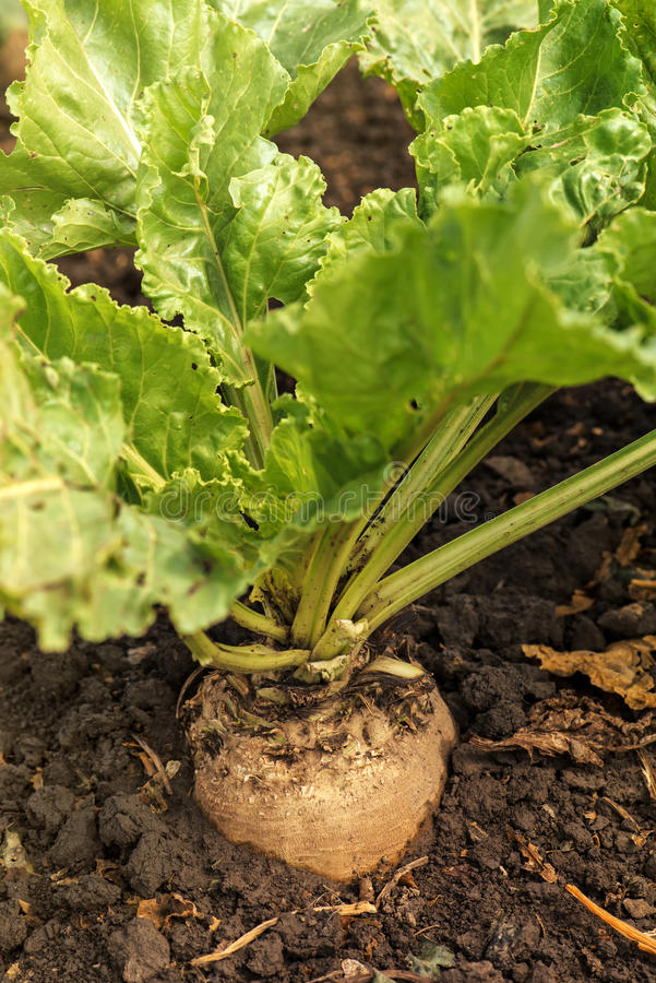 Sugar beet root crop royalty free stock photography