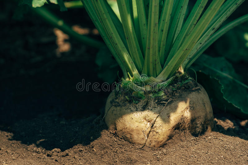 Sugar beet root in the ground royalty free stock photo