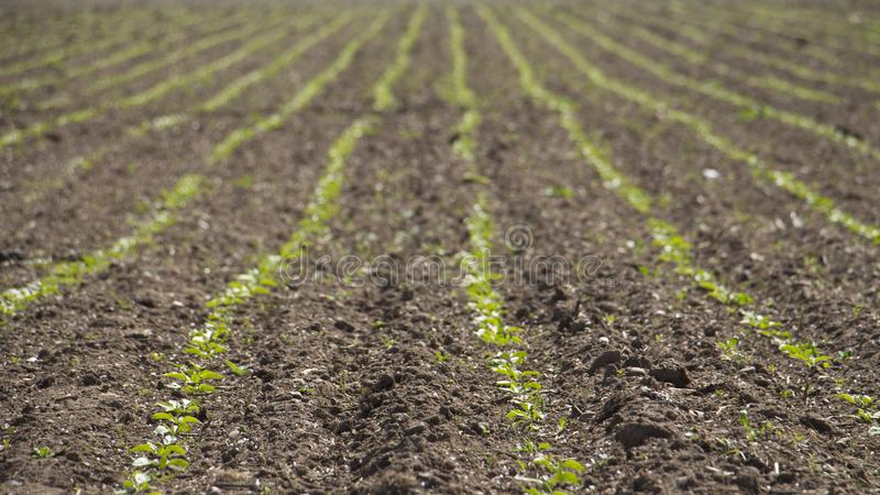 Sugar beet rows in a field royalty free stock images