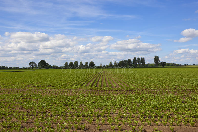 Sugar beet rows stock image