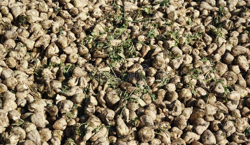 Sugar Beets stock images
