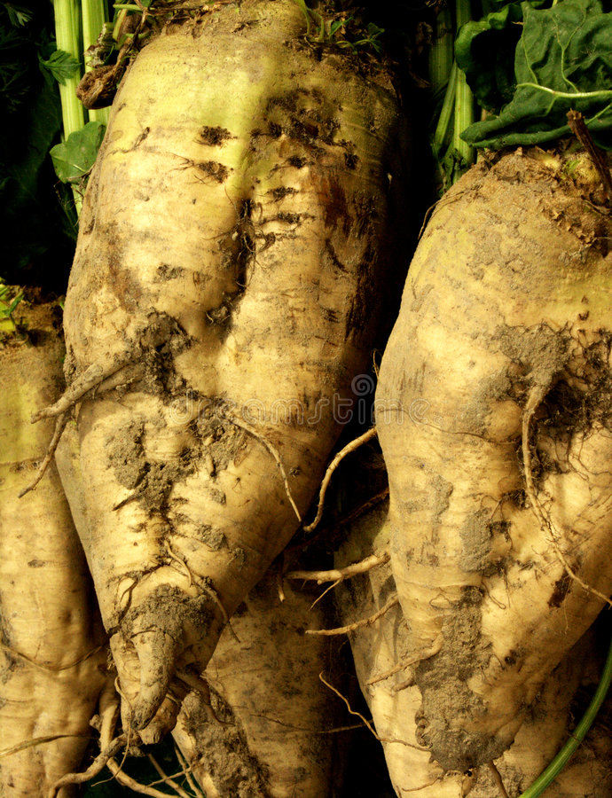 Sugar beets. Roots after harvesting stock photos